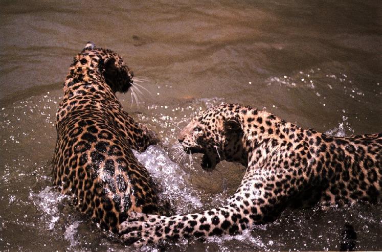 African Leopards (Panthera pardus) {!--아프리카표범-->; Image