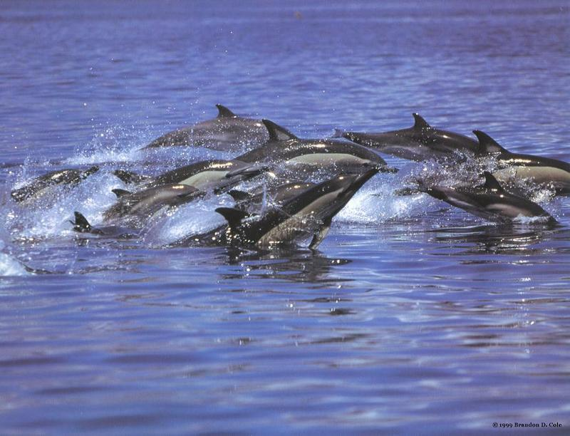 Common Dolphin pod (Delphinus delphis) <!--참돌고래-->; DISPLAY FULL IMAGE.