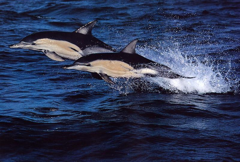 Common Dolphins-pair in flight on sea surface.jpg