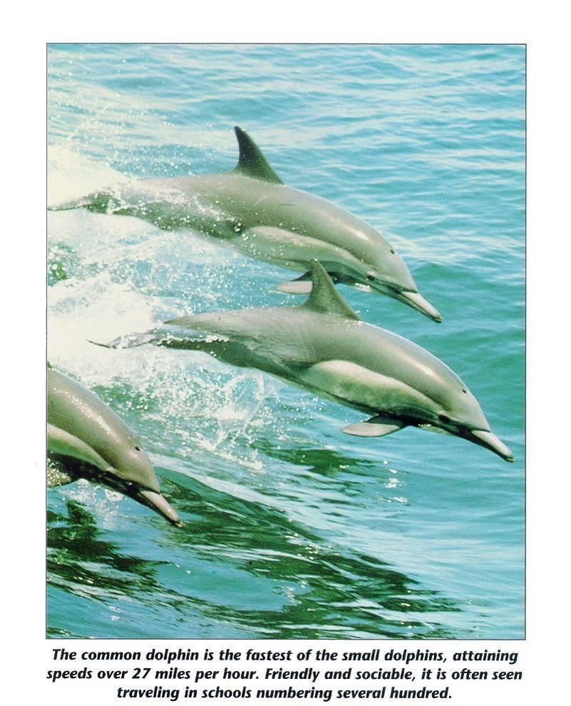 mammal09-Common Dolphins-in flight.jpg