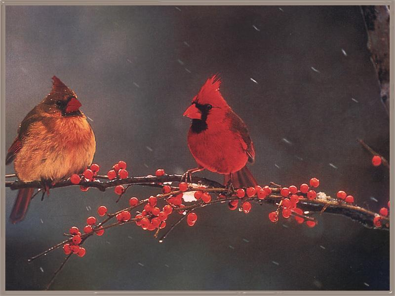 Northern Cardinals (Cardinalis cardinalis) <!--홍관조-->; Image ONLY