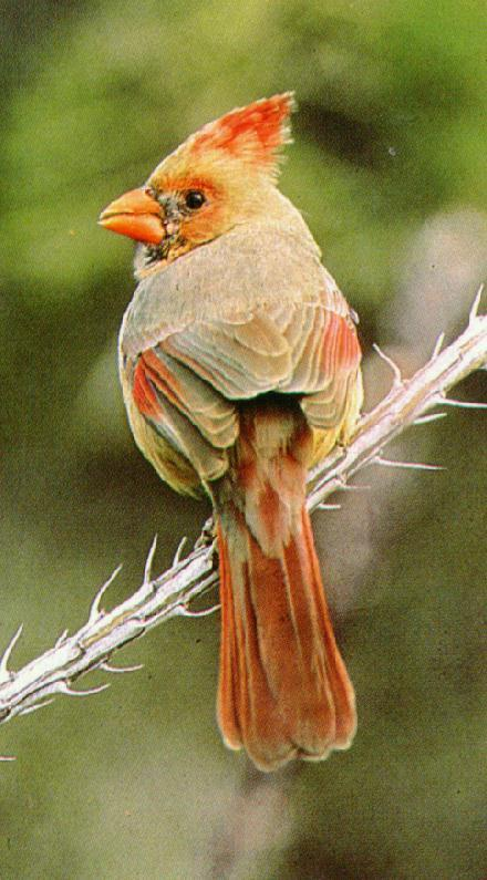 Northern Cardinal female (Cardinalis cardinalis) <!--홍관조-->; Image ONLY