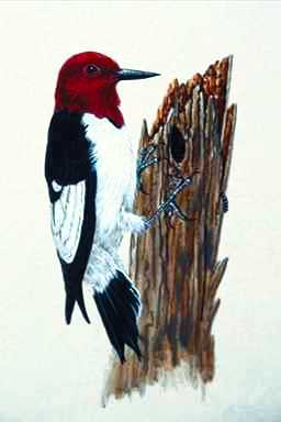 [Animal Art] Red-headed Woodpecker (Melanerpes erythrocephalus) <!--붉은머리딱다구리/빨간머리딱다구리-->; Image ONLY