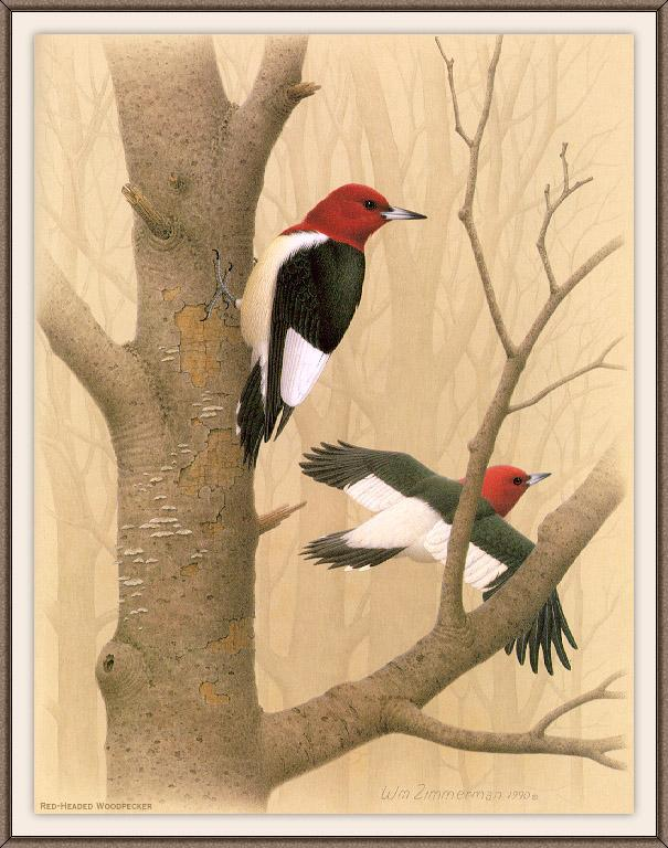 [Animal Art - William Zimmerman] Red-headed Woodpecker (Melanerpes erythrocephalus) <!--붉은머리딱다구리/빨간머리딱다구리-->; Image ONLY