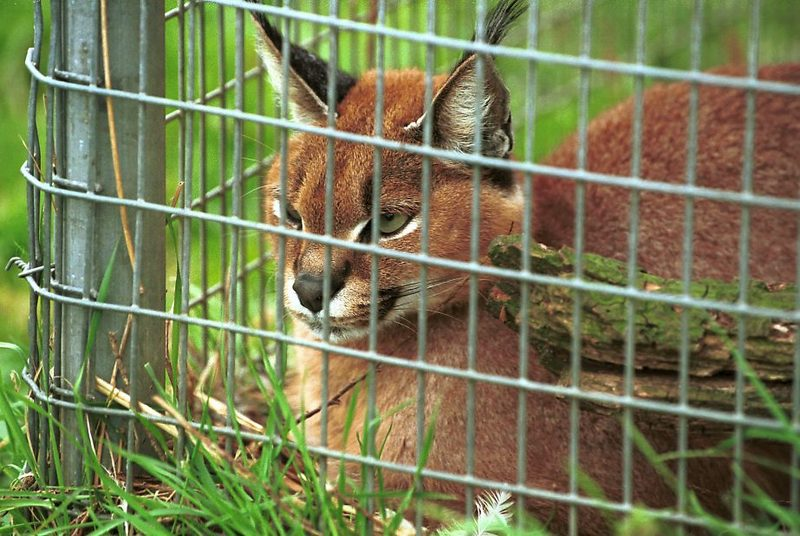 Caracal (Caracal caracal) <!--사막스라소니/카라칼-->; DISPLAY FULL IMAGE.