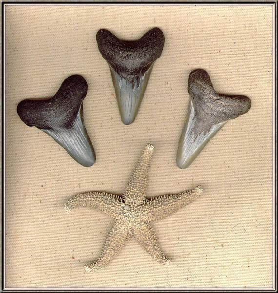 [Underwater] Shark Teeth & Sea Star <!--불가사리-->; Image ONLY