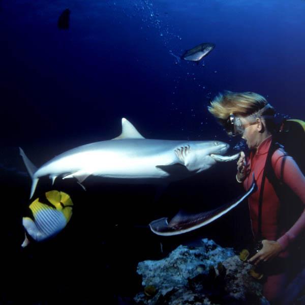 Underwater Scuba Diving Feeding White Tip Reef Shark Image Only