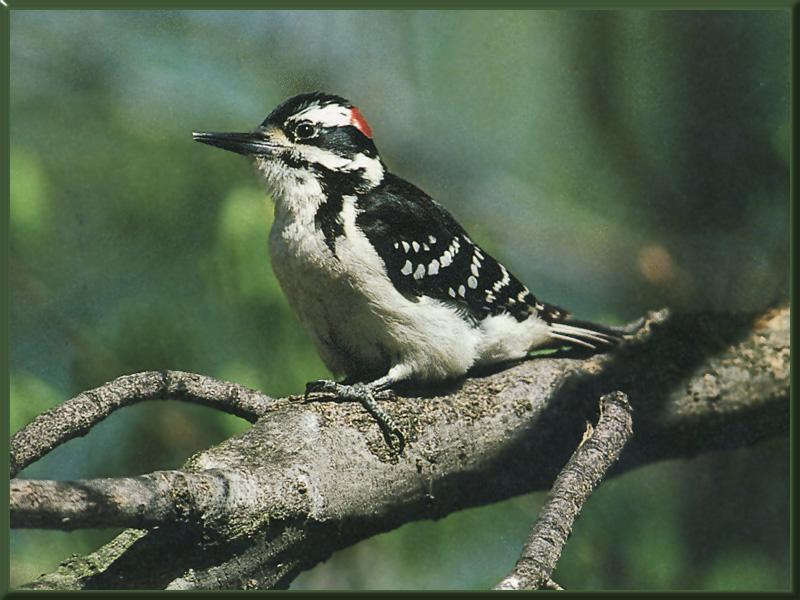 Hairy Woodpecker (Picoides villosus) <!--큰솜털딱다구리-->; Image ONLY