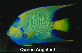 Queen Angelfish (Holac...