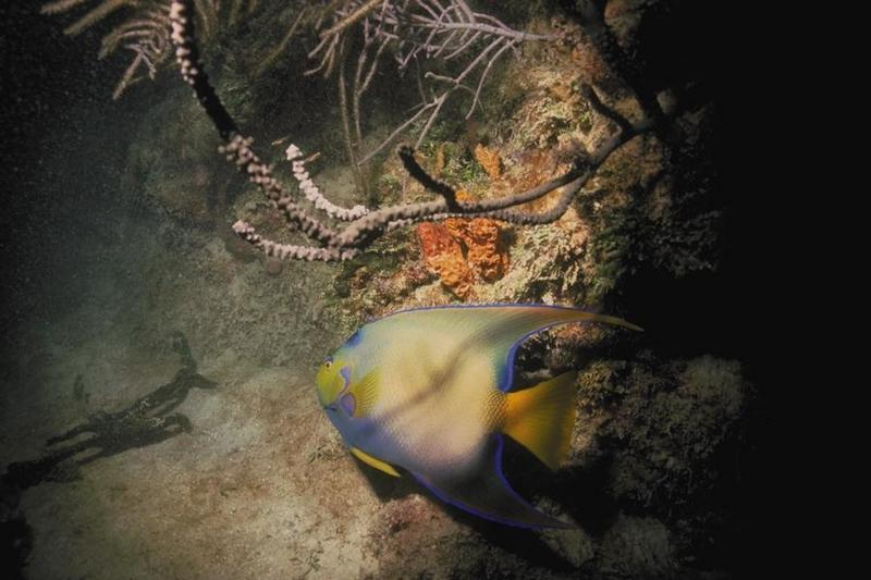 Queen Angelfish (Holacanthus ciliaris) <!--여왕신선돔-->; DISPLAY FULL IMAGE.
