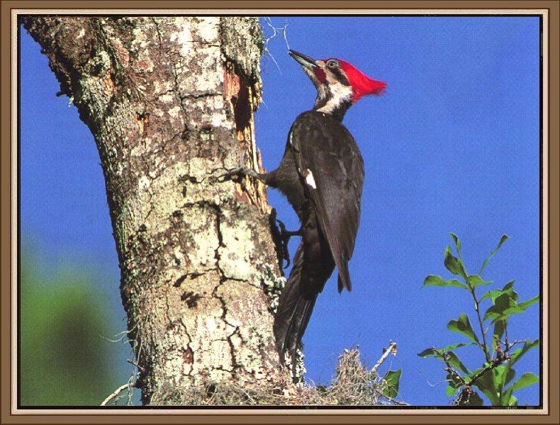 Pileated Woodpecker (Dryocopus pileatus) <!--도가머리딱다구리-->; Image ONLY