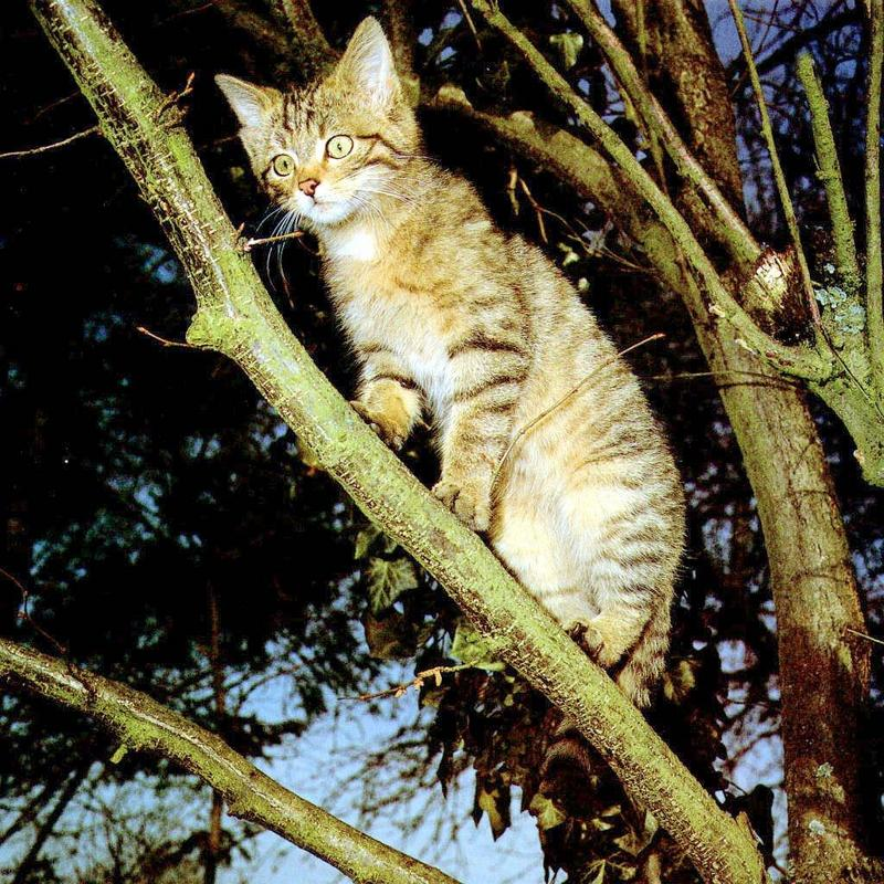 European Wild Cat (Felis silvestris) <!--유럽들고양이-->; DISPLAY FULL IMAGE.