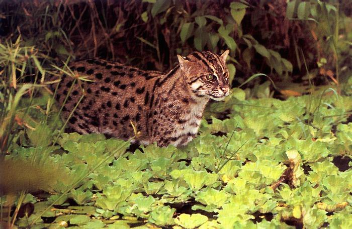 Fishing Cat (Prionailurus viverrinus) <!--고기잡이고양이-->; Image ONLY