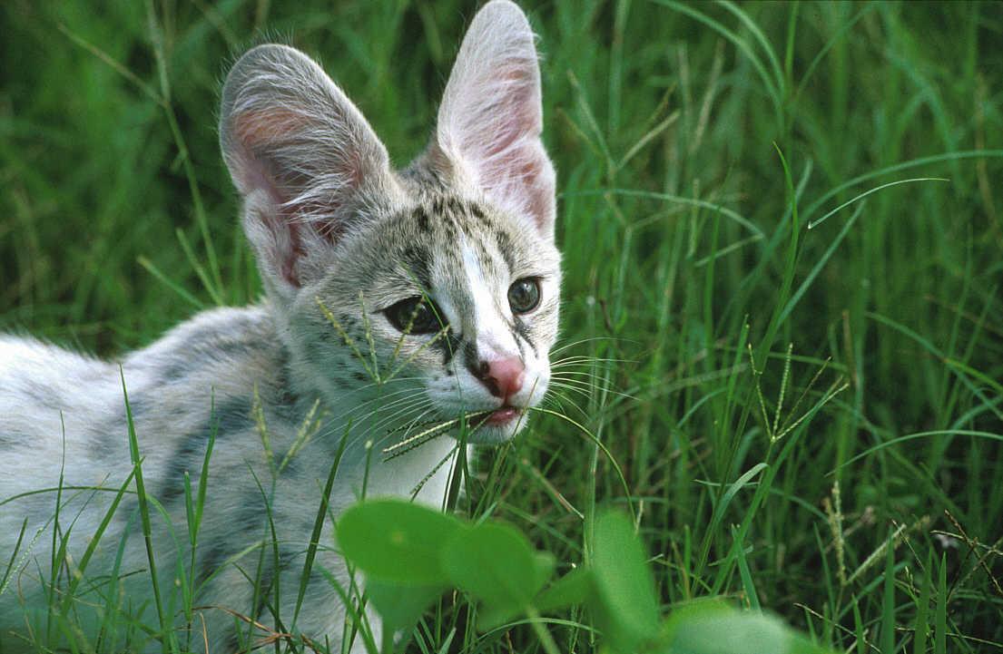 为何猫科动物的耳朵比犬科动物小