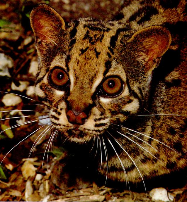 WC-03.Marbled Cat.jpg