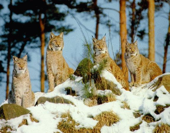 Lynx pack (Lynx sp.) <!--스라소니류-->; Image ONLY