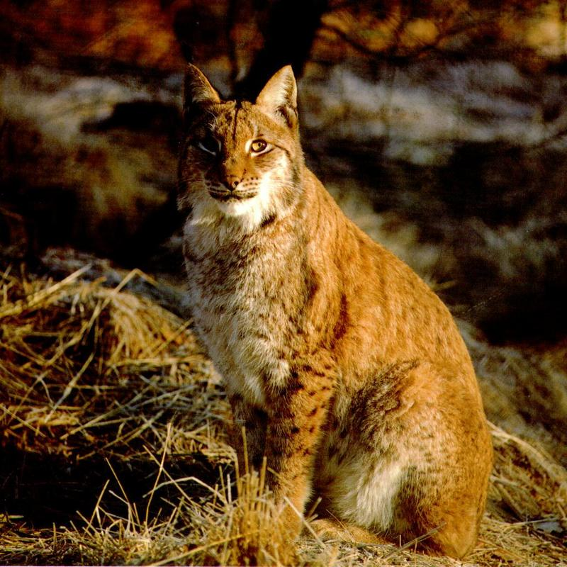 Canada Lynx (Lynx canadensis) <!--캐나다스라소니,검은귀스라소니-->; DISPLAY FULL IMAGE.