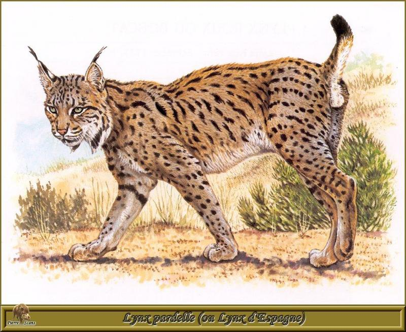 [Animal Art - Robert Dallet] Spanish Lynx (Lynx pardinus) <!--스페인스라소니-->; DISPLAY FULL IMAGE.