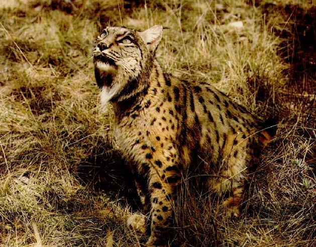 WC-03.Spanish Lynx.jpg