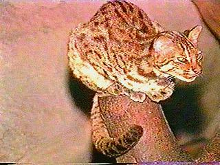 Asian Leopard Cat (Prionailurus bengalensis) <!--삵(살쾡이)-->; Image ONLY