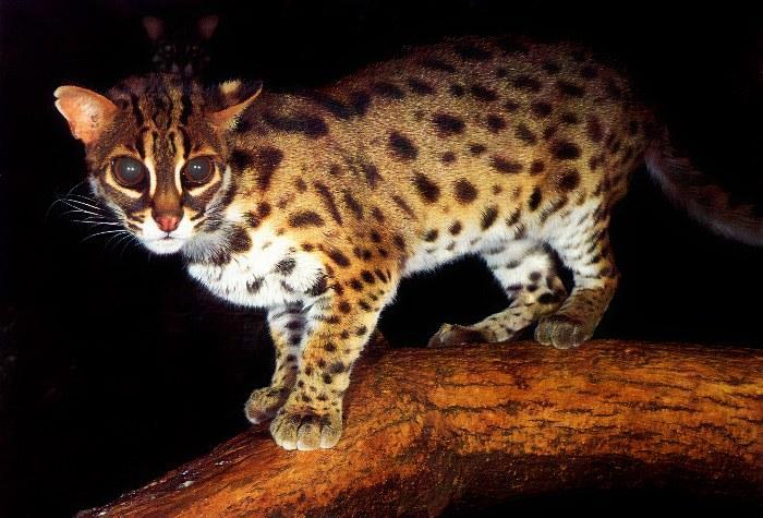 p-wc70-Leopard Cat-standing on log.jpg