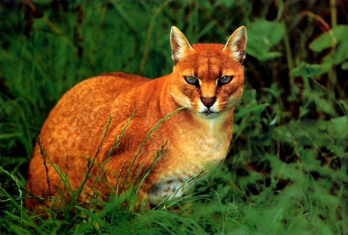 African Golden Cat (Profelis aurata) {!--아프리카황금고양이-->; Image ONLY