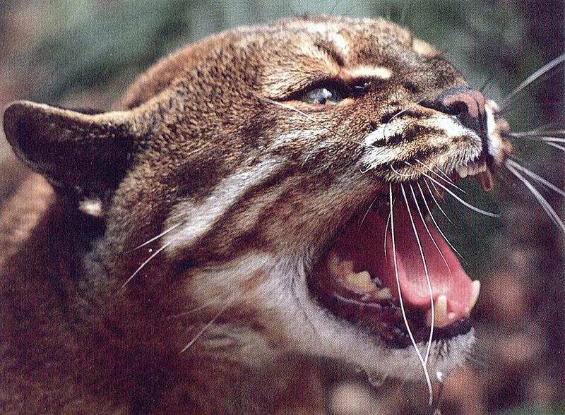 wildcat51-Temminck\'s Golden Cat-Snarls-Face Closeup.jpg
