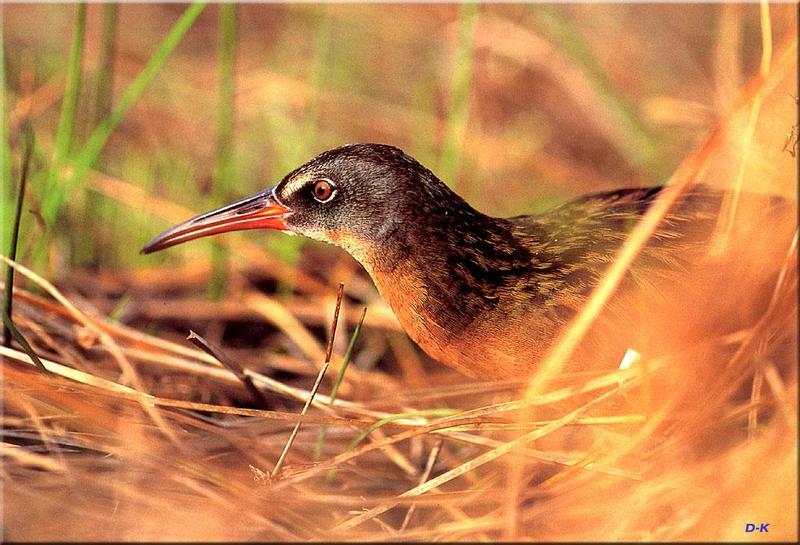 Virginia Rail (Rallus limicola) <!--쇠중남미뜸부기-->; DISPLAY FULL IMAGE.