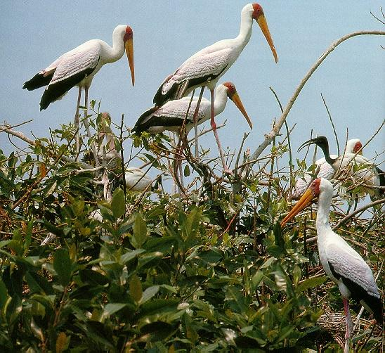 Yellow-billed Storks (Mycteria ibis) <!--노랑부리황새-->; Image ONLY