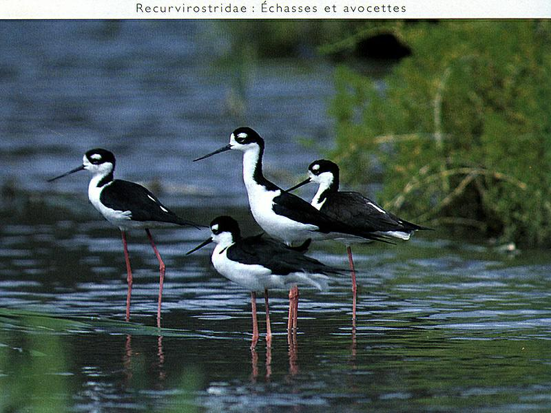 Black-winged Stilt flock (Himantopus himantopus) <!--장다리물떼새-->; Image ONLY