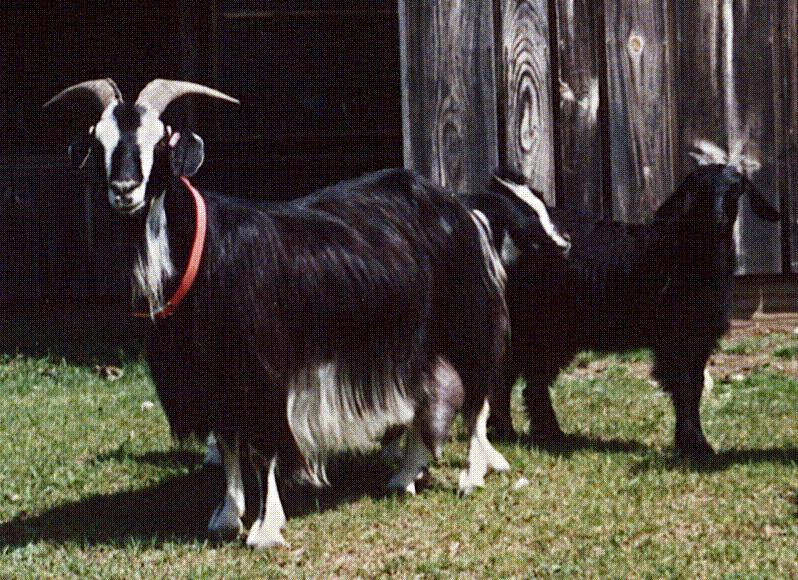 Domestic Goat (Capra hircus) <!--염소-->; Image ONLY