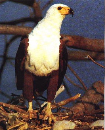 African Fish-eagle (Haliaeetus vocifer) <!--아프리카고기잡이수리-->; Image ONLY