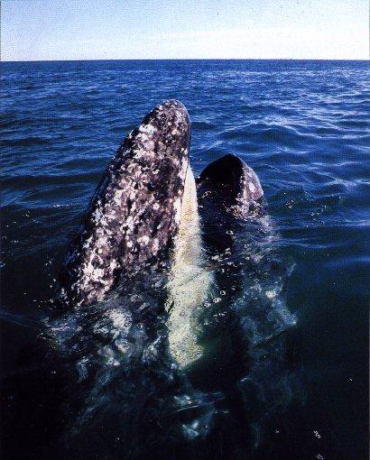 RightWhale-Gray Whale Head Out Of Sea Surface.jpg