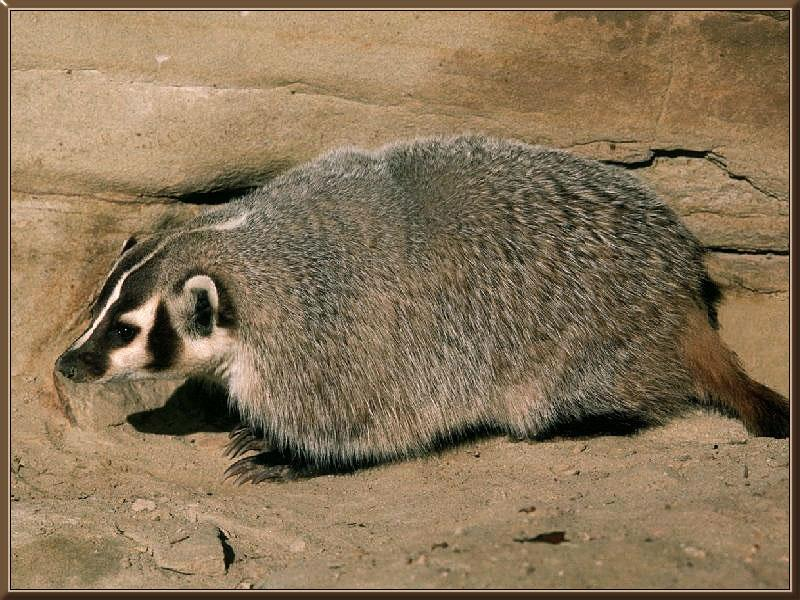 American Badger (Taxidea taxus) <!--아메리카오소리-->; Image ONLY