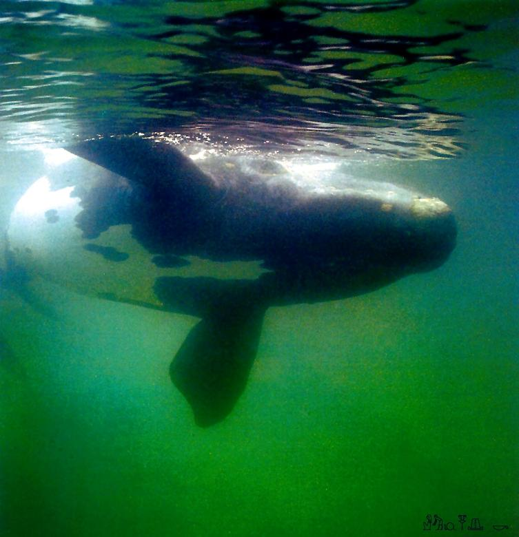 Southern Right Whale (Eubalaena australis) <!--호주 긴수염고래-->; Image ONLY