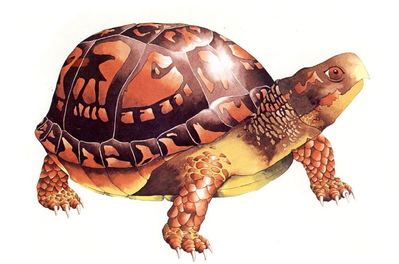 [Clipart] Eastern Box Turtle (Terrapene carolina) <!--캐롤라이나상자거북-->; DISPLAY FULL IMAGE.