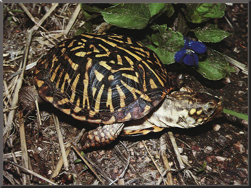 Western Box Turtle (Terrapene ornata) {!--서부상자거북-->; DISPLAY FULL IMAGE.