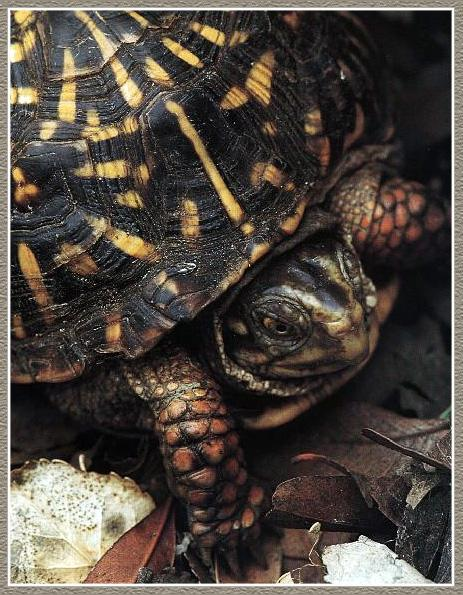 Western Box Turtle (Terrapene ornata) <!--서부상자거북-->; Image ONLY