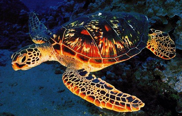 Green sea turtle-Closeup.jpg
