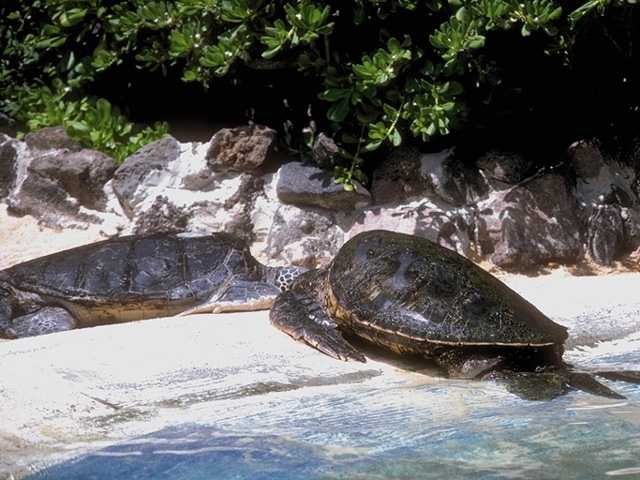 Green Sea Turtle (Chelonia mydas) <!--바다거북-->; Image ONLY