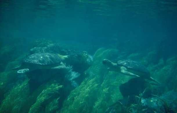 Green Sea Turtle pair (Chelonia mydas) <!--바다거북-->; Image ONLY