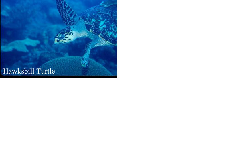 Hawksbill Sea Turtle (Eretmochelys imbricata) <!--매부리거북,대모거북(玳瑁--)-->; DISPLAY FULL IMAGE.