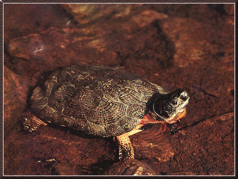 Wood Turtle (Clemmys insculpta) <!--나무거북-->; Image ONLY