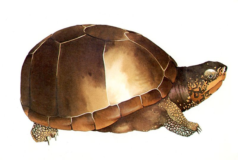 [Clipart] (Common) Eastern Mud Turtle (Kinosternon subrubrum) <!--동부진흙거북-->; DISPLAY FULL IMAGE.