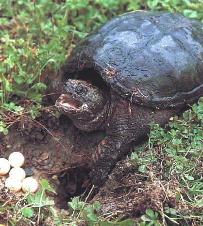 Turtle03-Snapping Turtle-Burying Eggs.jpg