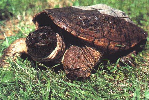 Turtle06-Snapping Turtle-On Grassland.jpg