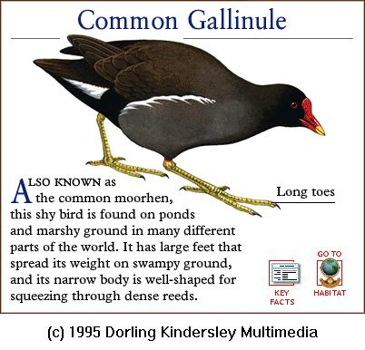 Common Moorhen (Gallinula chloropus) <!--쇠물닭-->; Image ONLY