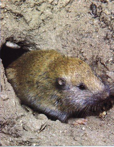 Western Pocket Gopher (Thomomys mazama) <!--서부땅굴쥐-->; Image ONLY