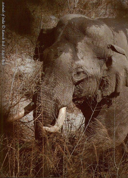 india elephant.jpg