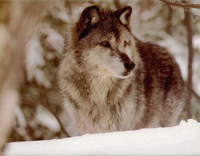 Wolfsong calendar 1993 10 gray wolf 회색이리 gt display